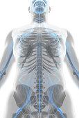 istock 3D illustration male nervous system. 541564722