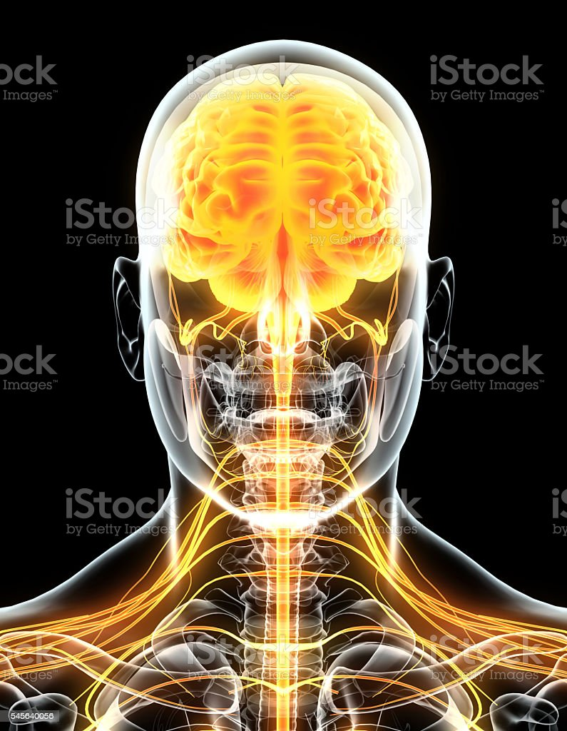 3D illustration male nervous system. stock photo