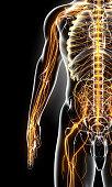 istock 3D illustration male nervous system. 545640584