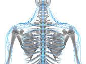istock 3D illustration male nervous system. 545641298
