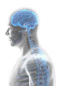 istock 3D illustration male nervous system. 545641582