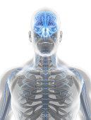 istock 3D illustration male nervous system. 545641934