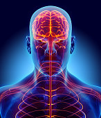 istock 3D illustration male nervous system. 577937214