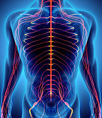 istock 3D illustration male nervous system. 577938128