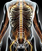 istock 3D illustration male nervous system. 597658766