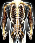 istock 3D illustration male nervous system. 636681452