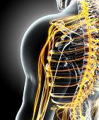 istock 3D illustration male nervous system. 636681538