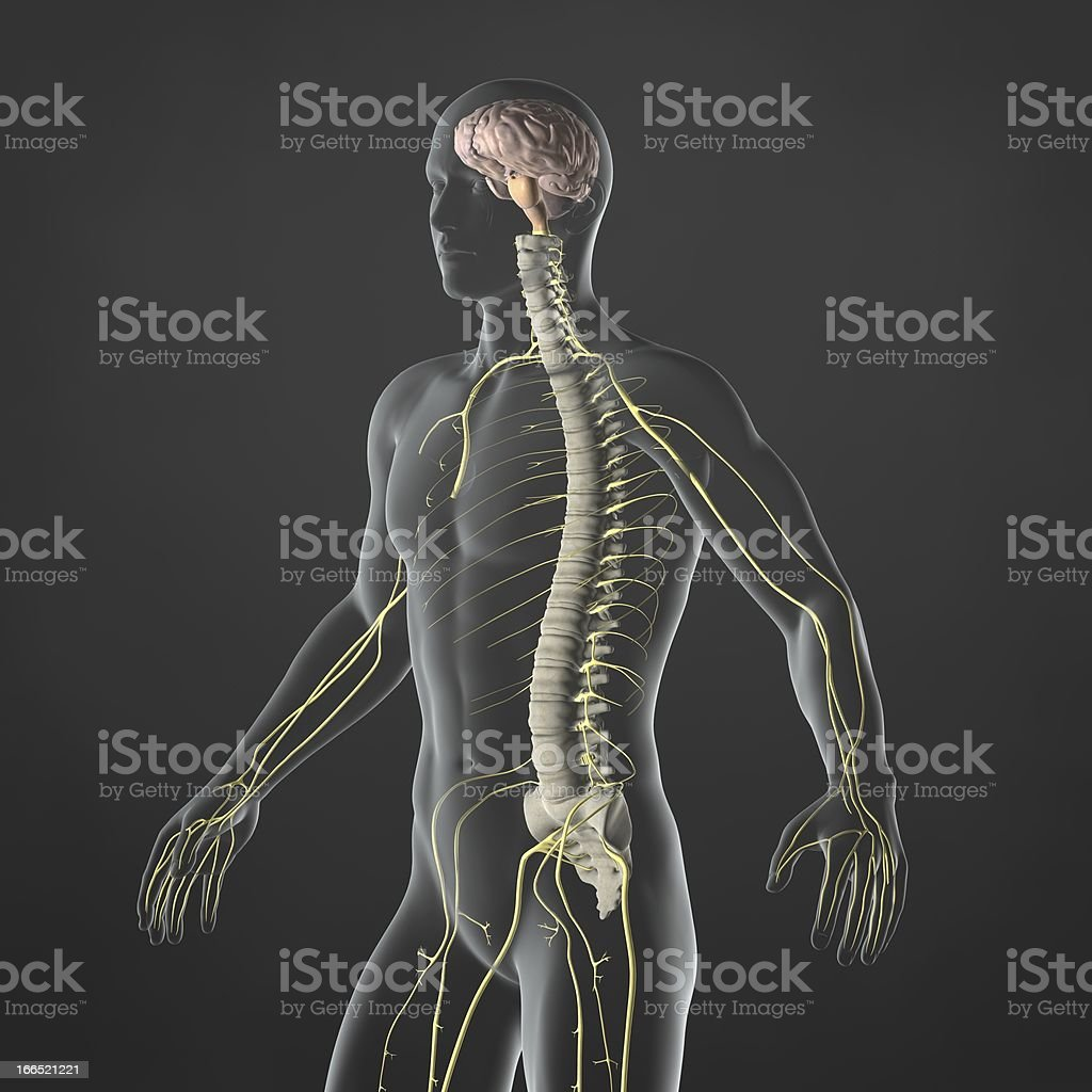 Illustration of a human body's nervous system stock photo