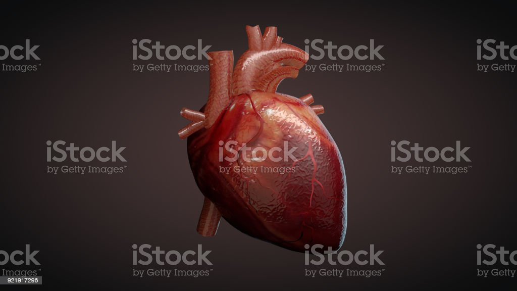 3D illustration of a human heart stock photo