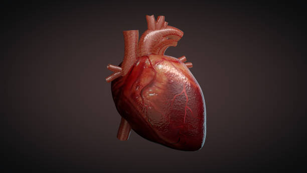3d illustration of a human heart - human heart stock photos and pictures