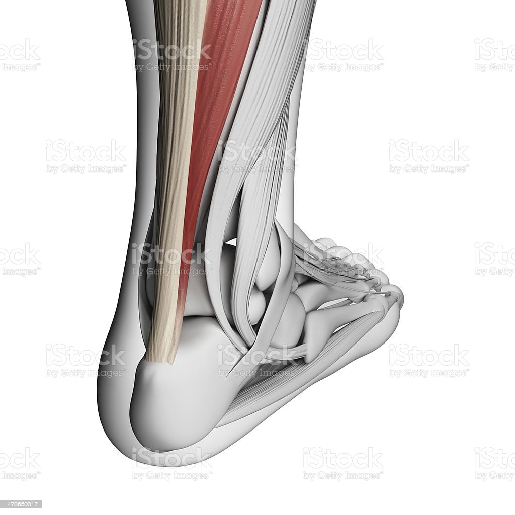 3D illustration of a leg highlighting the Achilles tendon stock photo
