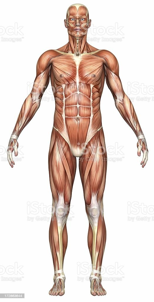 Illustration of a male human body's muscle system royalty-free stock photo