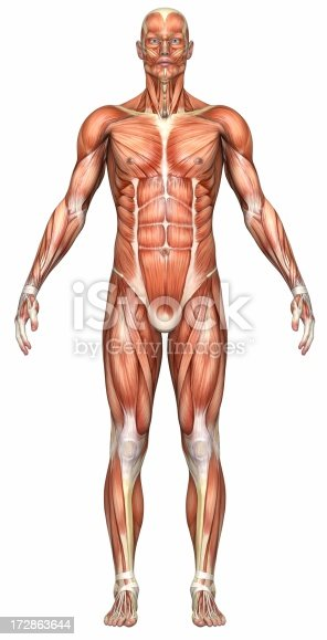 istock Illustration of a male human body's muscle system 172863644