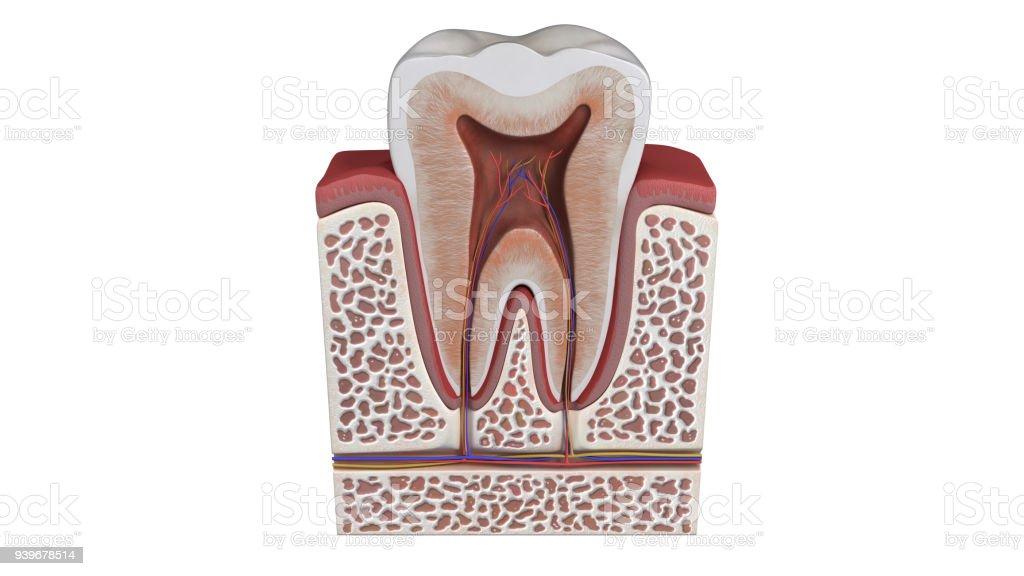 3d Abbildung Einer Zahnanatomie Stock-Fotografie und mehr Bilder von ...