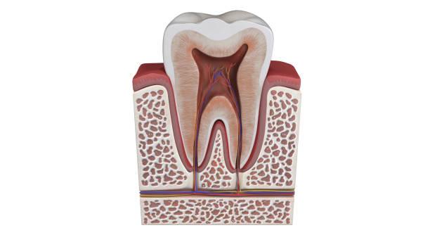 3d illustratie van een tand anatomie - dentine stockfoto's en -beelden