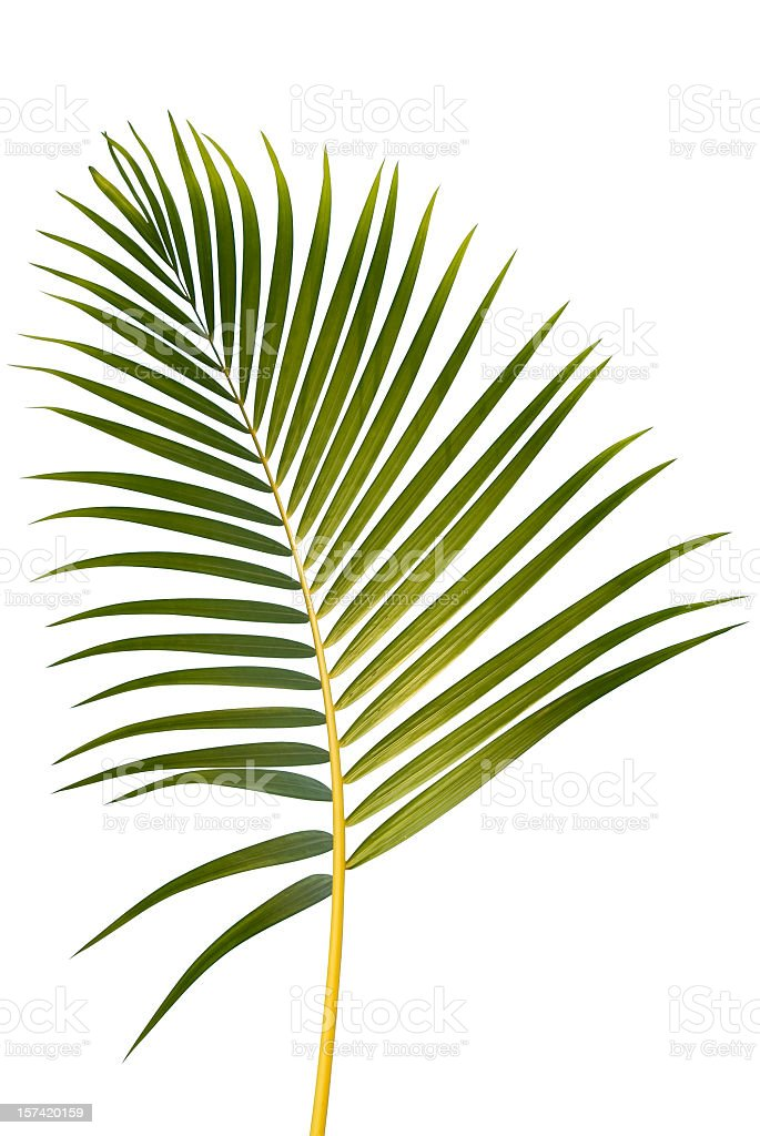 Illustration of a tropical palm leaf on a white background royalty-free stock photo