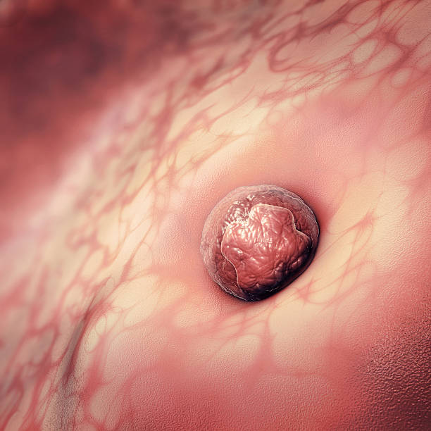 3D Illustration of an egg cell sticking to the uterus 3D Illustration of an egg cell or ovum sticking to the uterus human blastocyst stock pictures, royalty-free photos & images