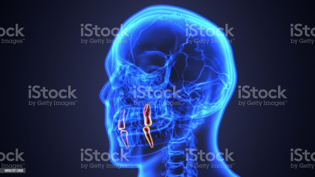 3d Illustration Of Anatomy Of The Mouth And Teeth Anatomy Stock ...