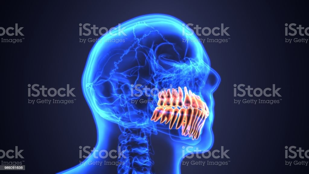 3d Illustration Of Anatomy Of The Mouth And Teeth Anatomy Stock