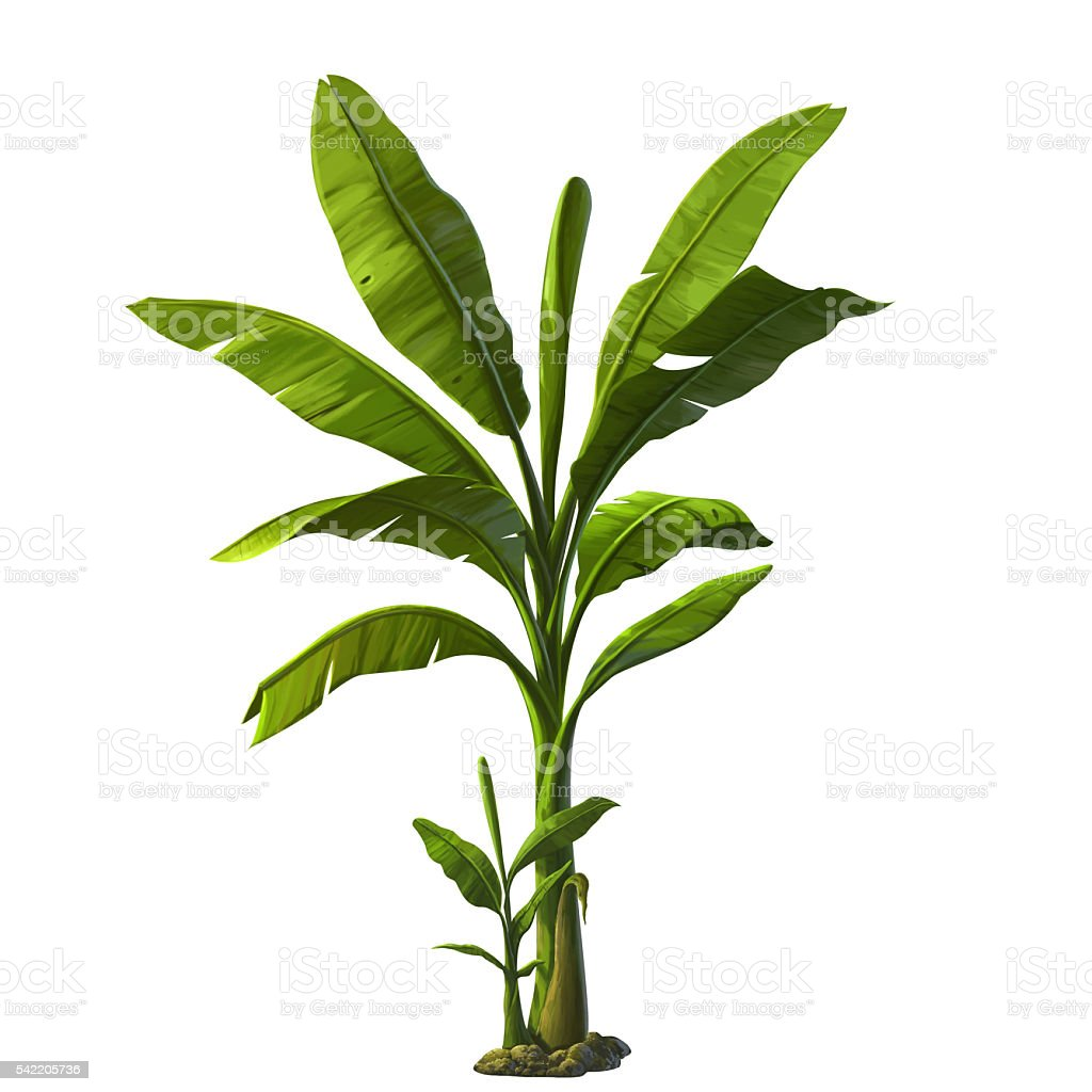 illustration of banana tree stock photo