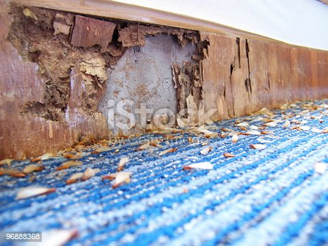 Termite infestation: Wooden panel eaten up by termites. Termites lying dead on the floor.