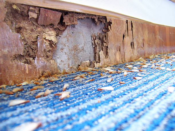 Illustration of damages caused by pests Termite infestation: Wooden panel eaten up by termites. Termites lying dead on the floor. termite stock pictures, royalty-free photos & images