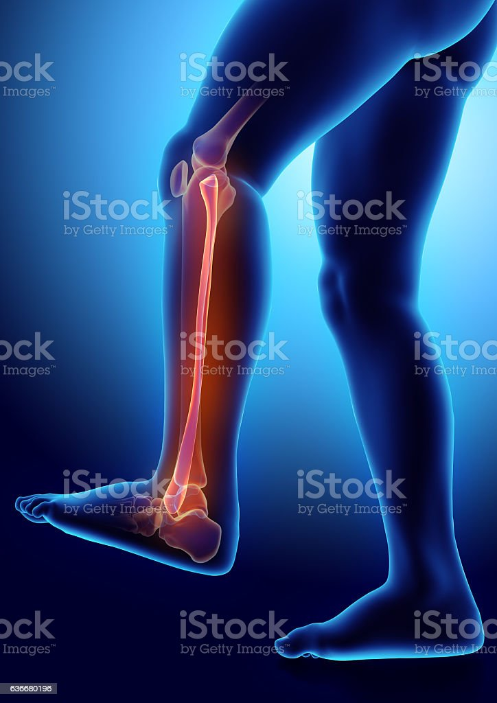 3D illustration of Fibula, medical concept. stock photo