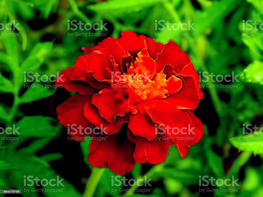 Illustration of flowers on a black background royalty-free stock photo