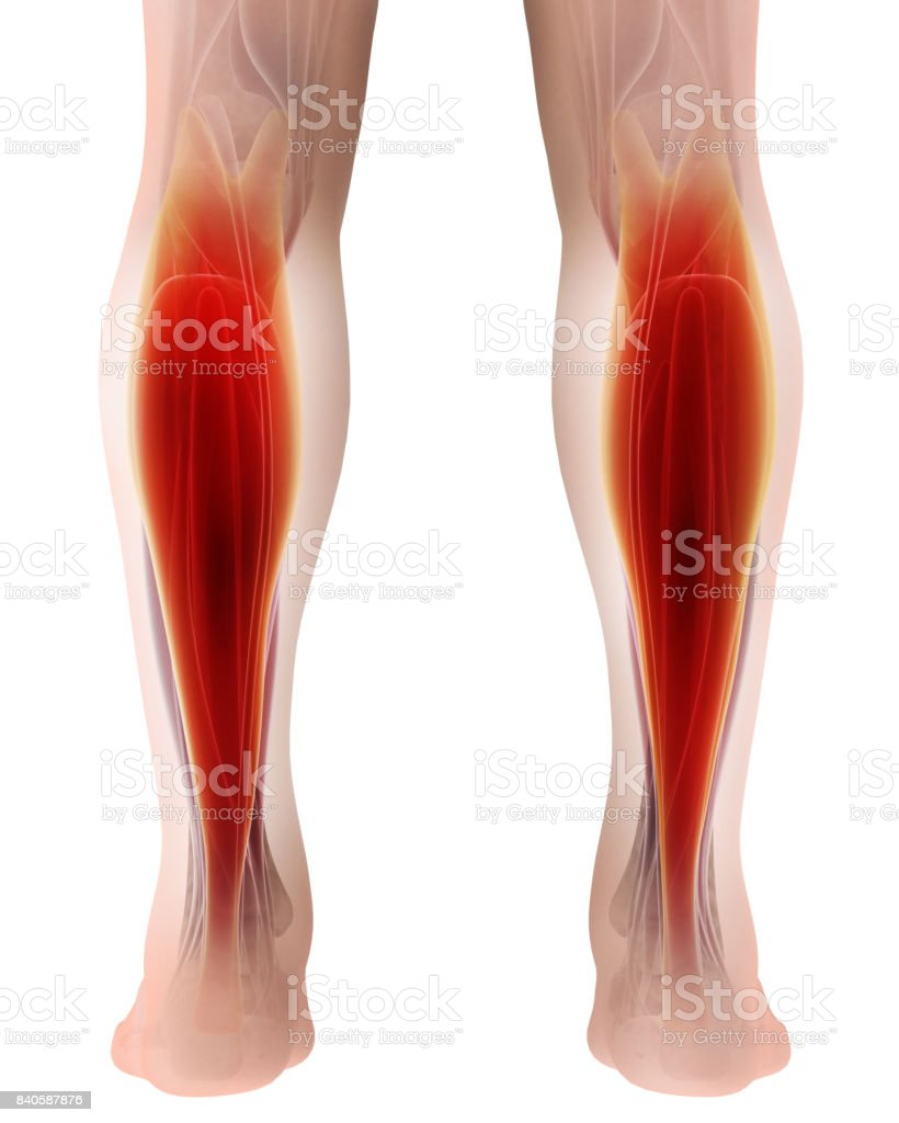 3D illustration of gastrocnemius, Part of Legs Muscle Anatomy stock photo