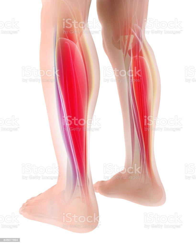 3d Darstellung Der Gastrocnemius Teil Der Beine Muskel Anatomie ...