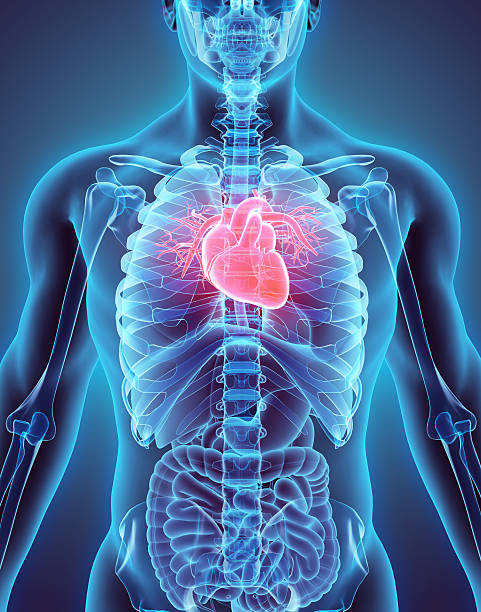 3d illustration of heart, medical concept. - cardiovascular system stock photos and pictures