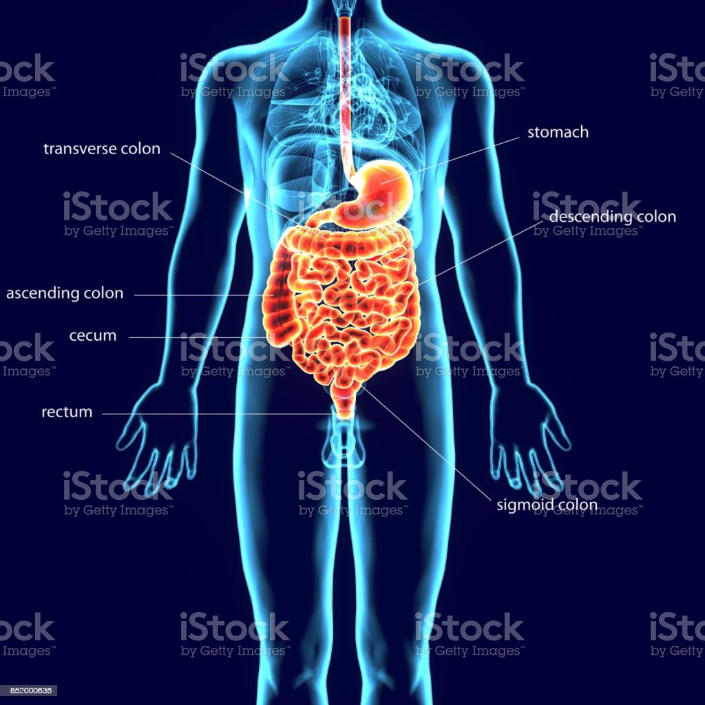 3d Illustration Of Human Digestive System Anatomy Stock Photo More