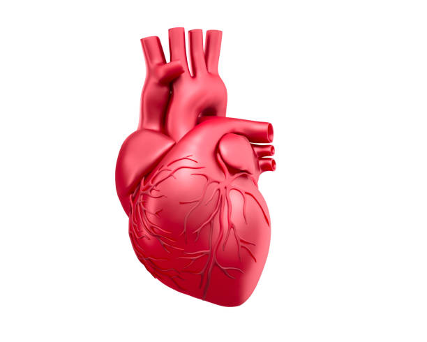 Illustration of Human Heart medical 3D rendering of a red human heart isolated on white background human heart stock pictures, royalty-free photos & images