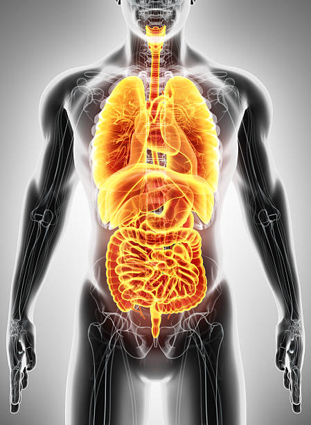 3D illustration of Human Internal Organic. stock photo