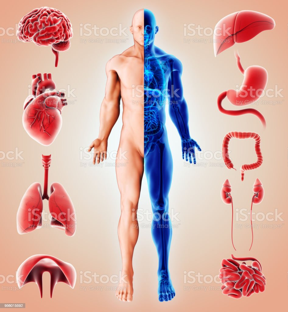 3D illustration of Human Internal Organic. - foto stock