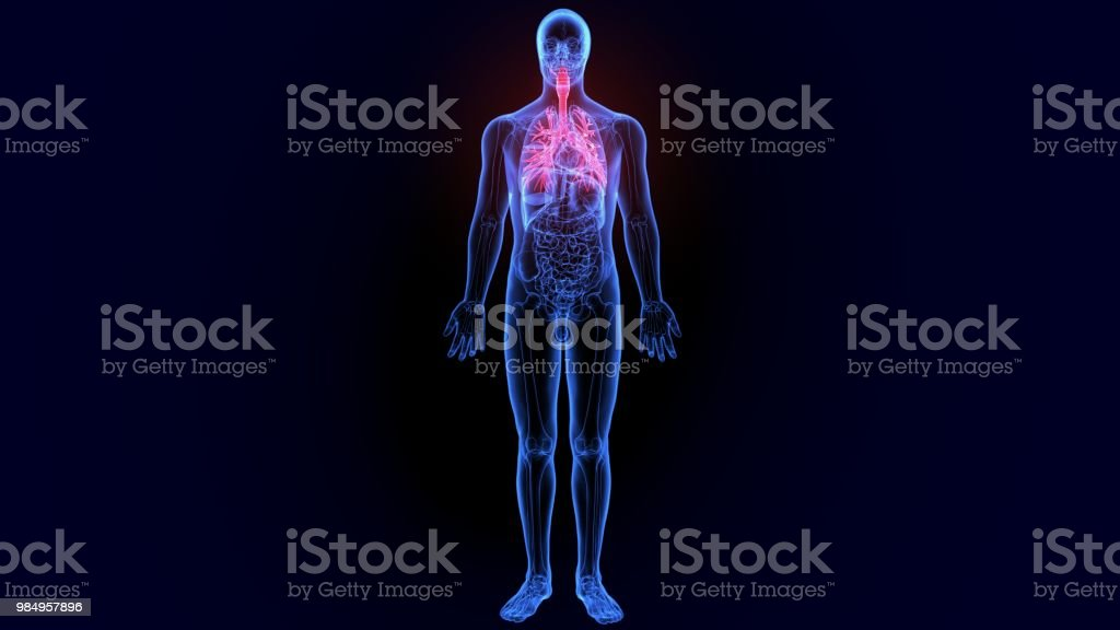3d Illustration Of Human Lungs Inside Anatomy Stock Photo More