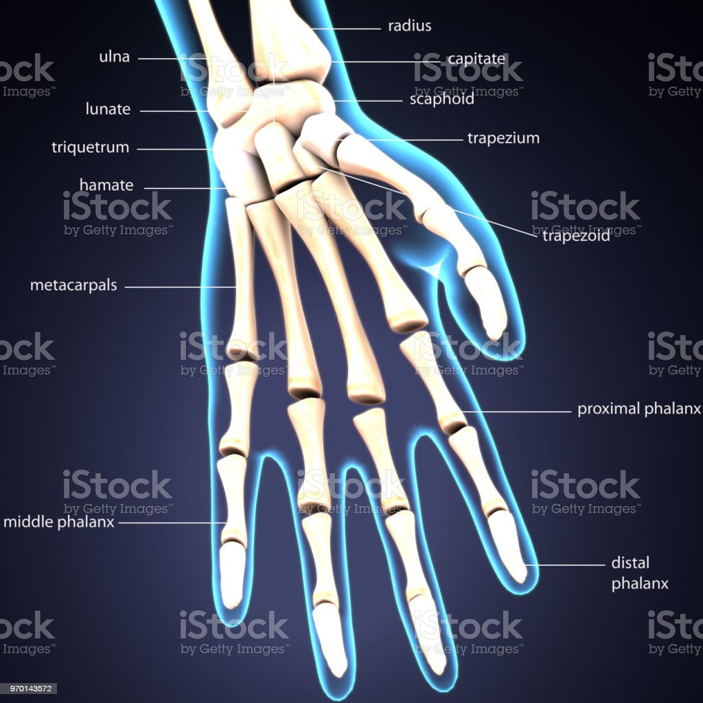 3d Illustration Of Human Skeleton Hand Labels Anatomy Stock Photo