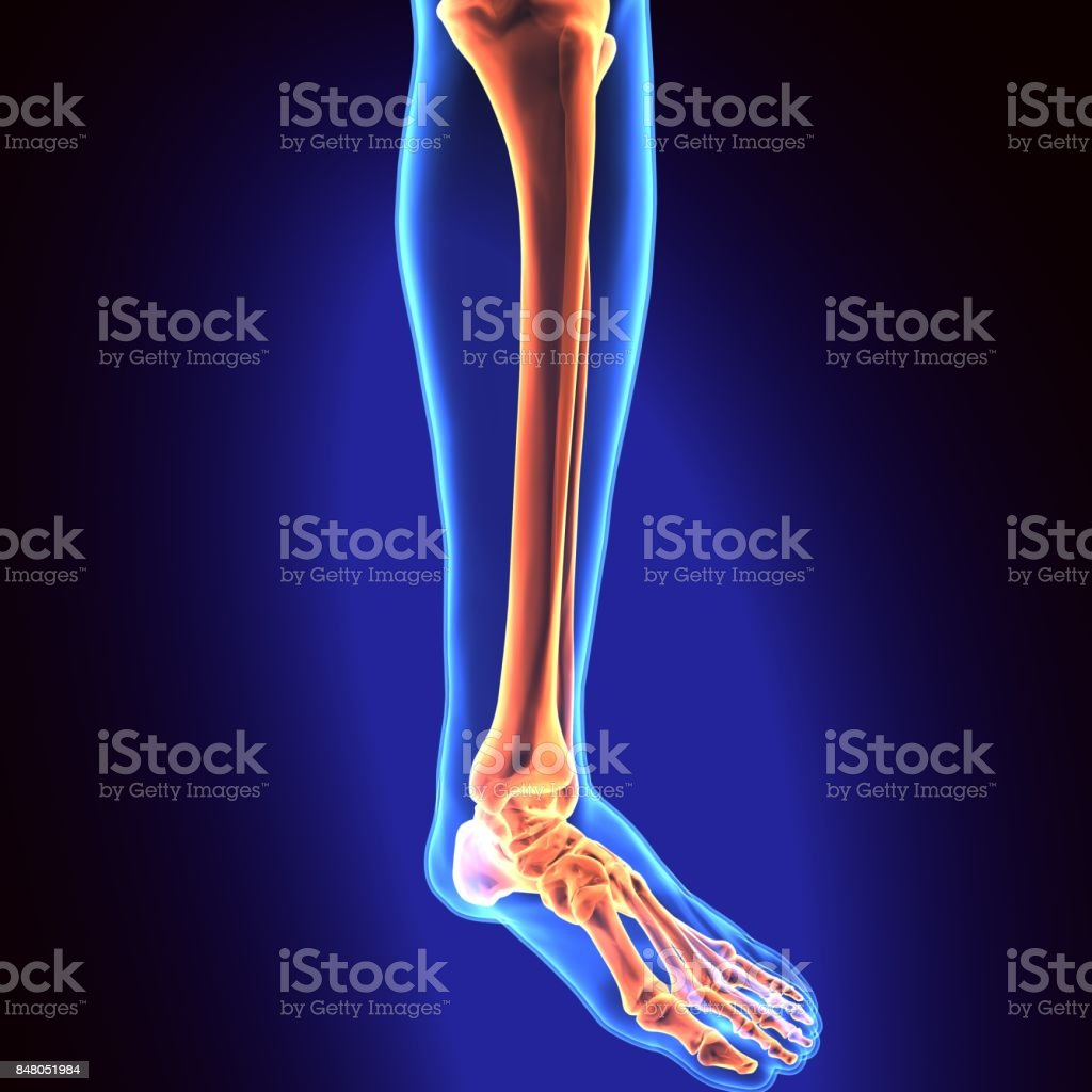 3d Illustration Of Human Skeleton Tibia And Fibula Bones Stock Photo