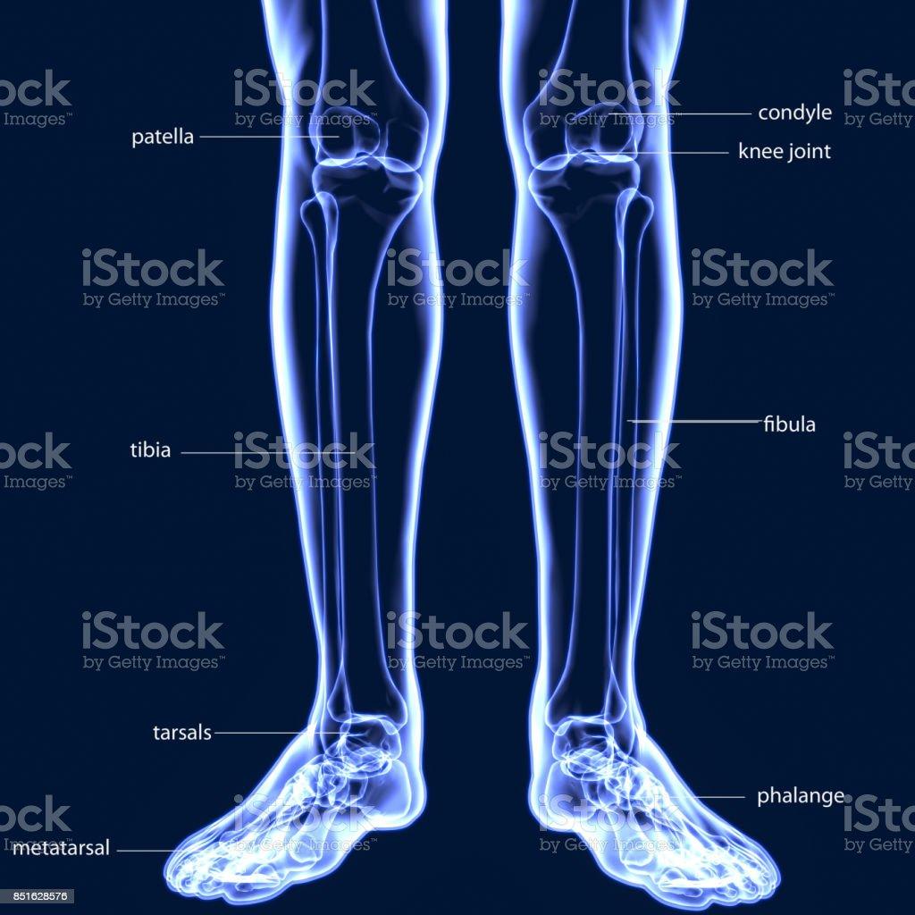 Fotografía de Ilustración 3d De Humano Esqueleto Tibia Y Peroné ...