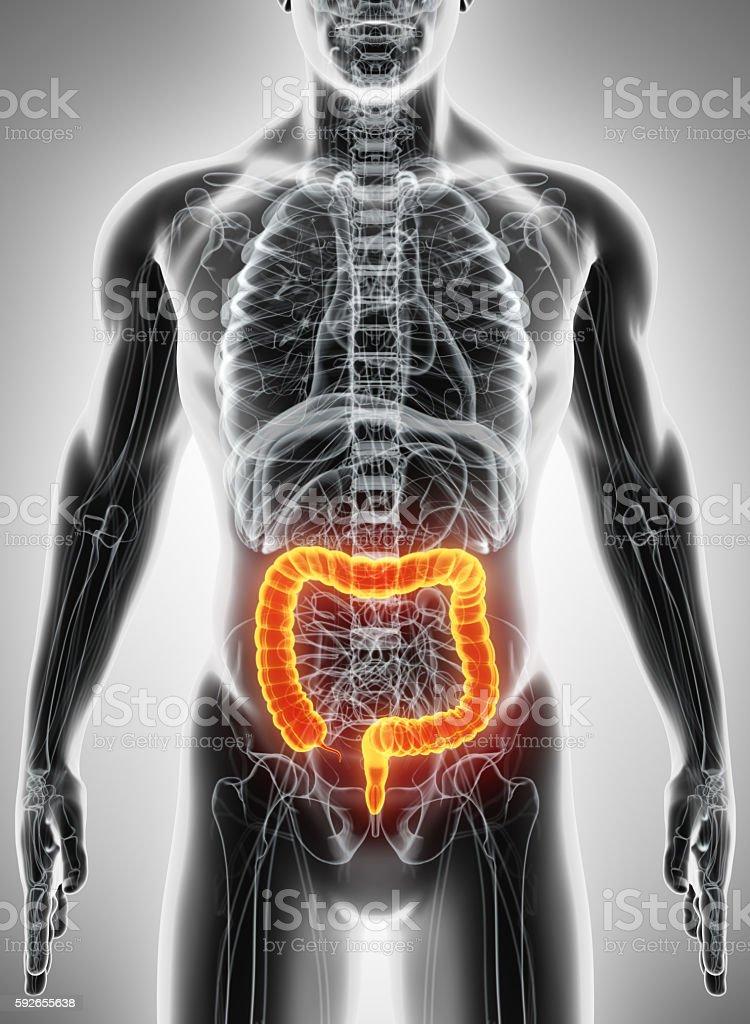 3D illustration of Large Intestine. stock photo