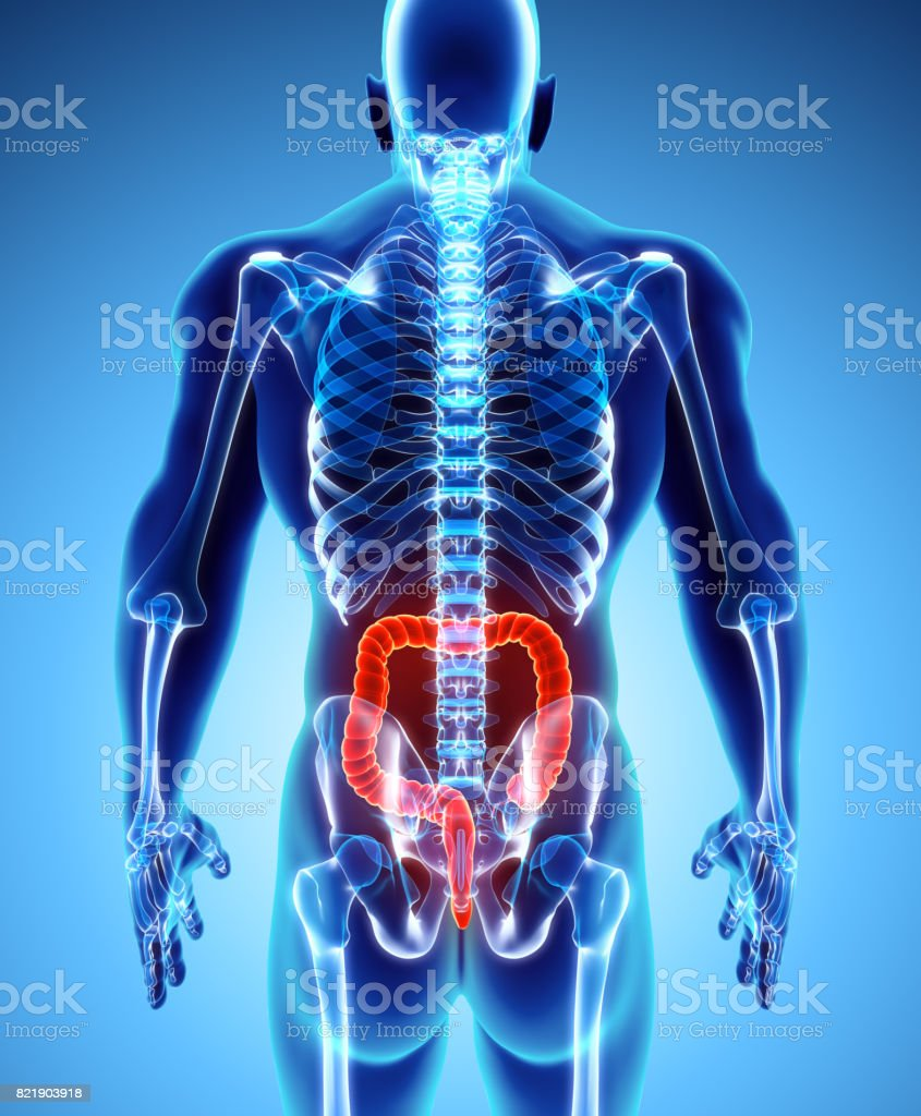 3D illustration of Large Intestine. stock photo