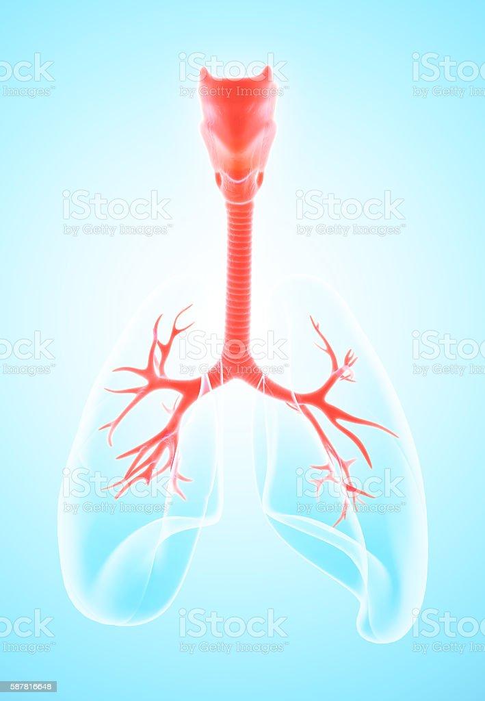 3d Illustration Of Larynx Trachea Bronchi Stock Photo & More ...