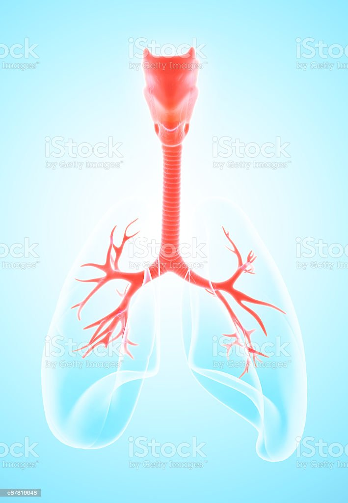 3D illustration of Larynx Trachea Bronchi. stock photo
