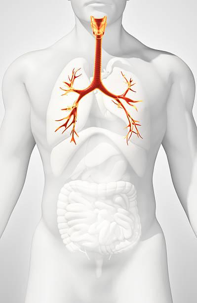 3D illustration of Larynx Trachea Bronchi. stock photo