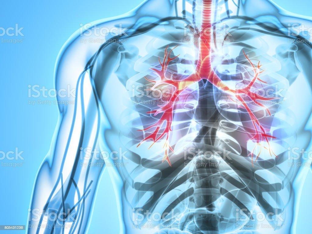 3 D Abbildung Eines Kehlkopf Trachea Bronchien Stock Fotografie Und
