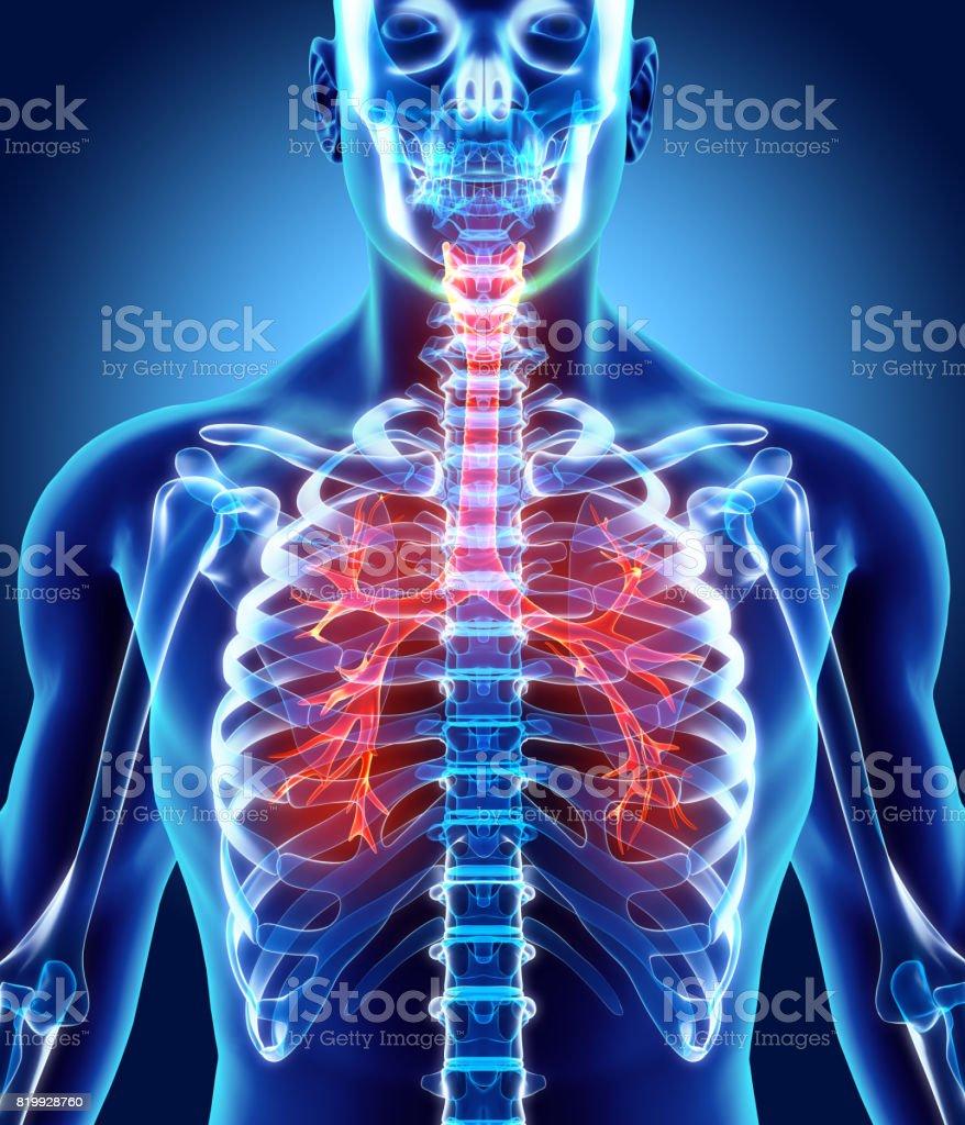 3 D abbildung eines Kehlkopf Trachea Bronchien. – Foto