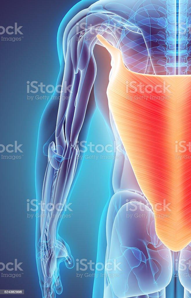 3 D Ilustración De Músculo Dorsal - Fotografía de stock y más ...