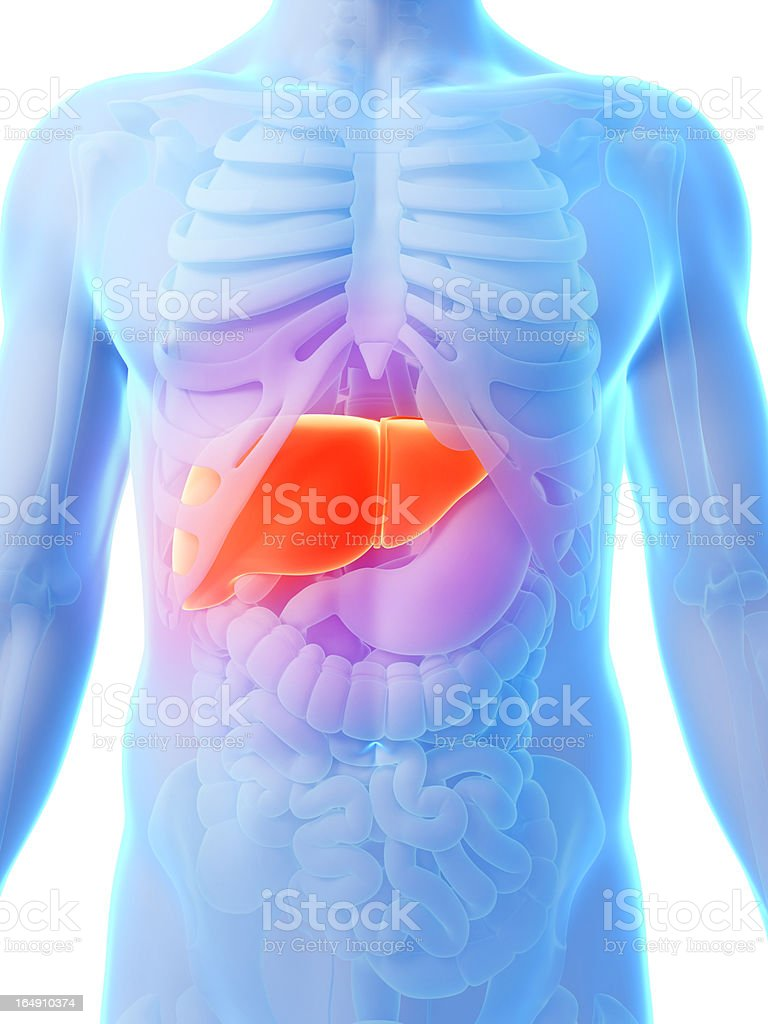 Illustration of liver in human body  stock photo