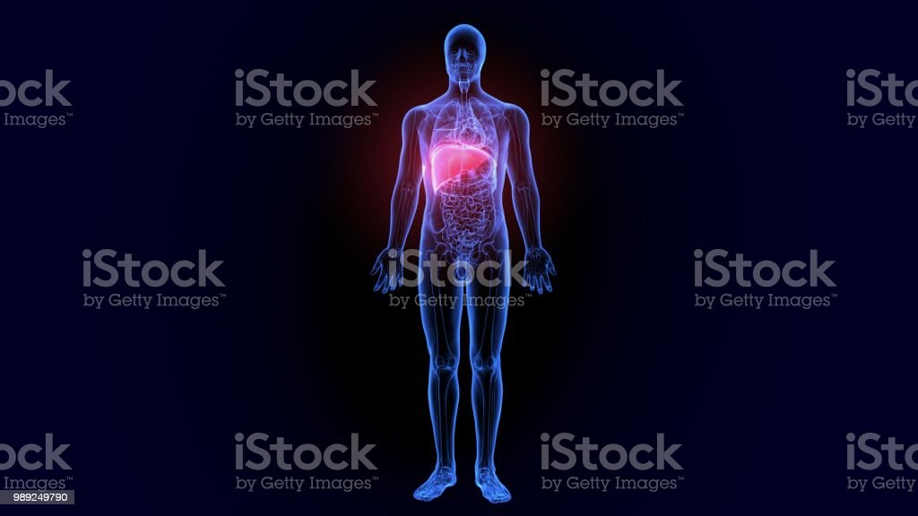 3d Illustration Of Liver Part Of Digestive System Stock Photo More