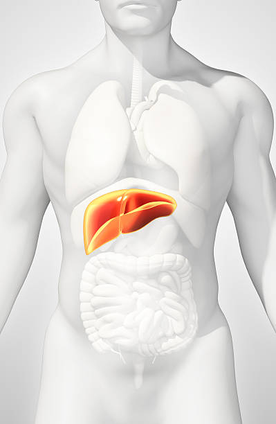 3D illustration of Liver. stock photo